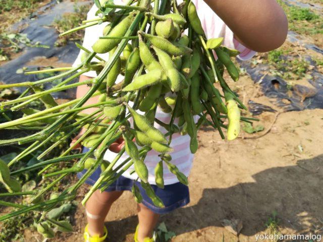 こちらは収穫後に葉をおとした枝豆3株分です。こちらのサイズは普通。
