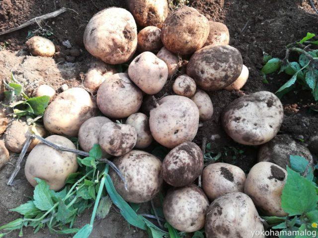 ジャガイモは全部で5kgぐらいありました。