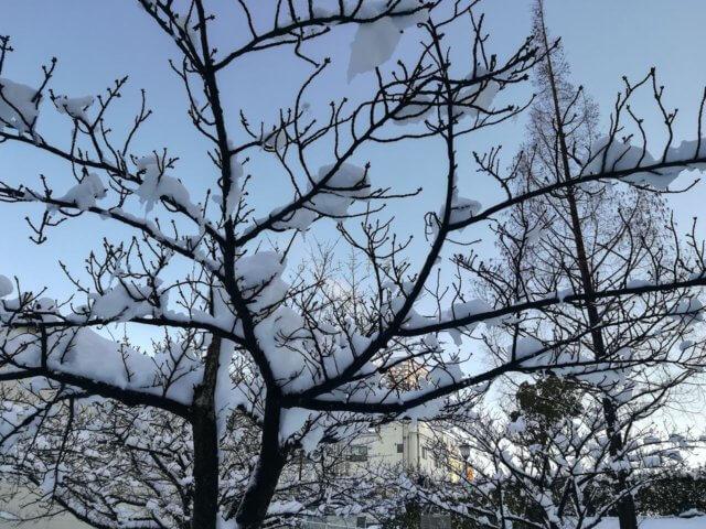 大雪の週末の伊豆マリオット。木にはまだ雪が残っていました。