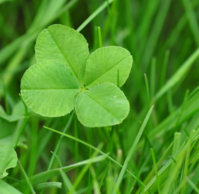 four-leaf-clover-711625_1280